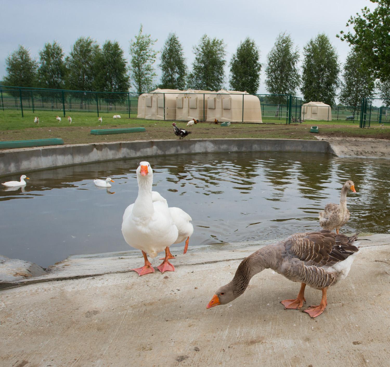 Un nouvel tang pour les oies et canards d 39 animaux en p ril - Bassin canard d ornement pau ...