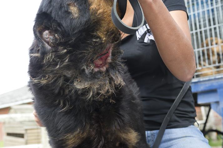 Près de 100 chiens saisis à Chastre chez une comtesse (Belgique) Saisie-chastre-007