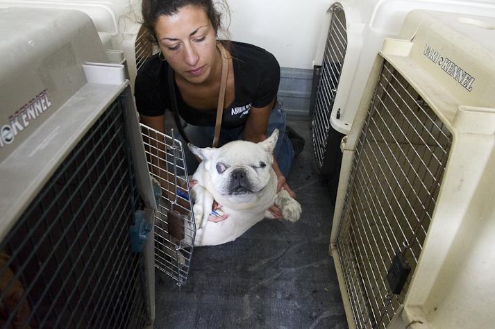 Près de 100 chiens saisis à Chastre chez une comtesse (Belgique) Saisie-chastre-009