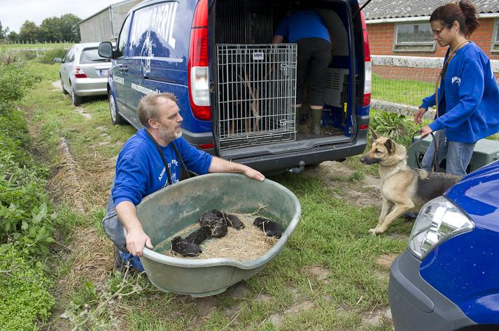 Près de 100 chiens saisis à Chastre chez une comtesse (Belgique) Saisie-chastre-011