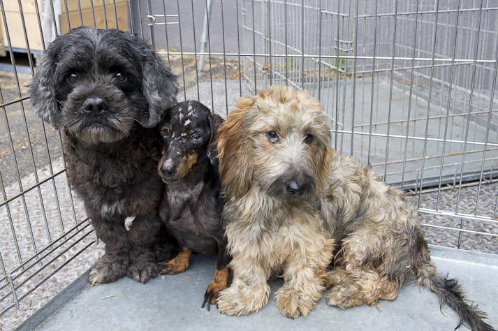 Près de 100 chiens saisis à Chastre chez une comtesse (Belgique) Saisie-chastre-018